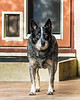12  plus<br /> <br /> (December 12, 2016) Yesterday was Gracey's 7th Adoption Day, which we mark as her birthday as well. She is now at least twelve years old and sturdy as ever.