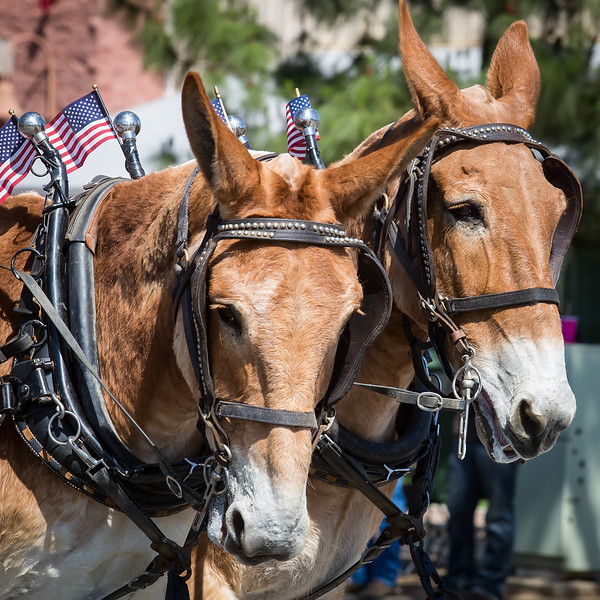 Teamwork<br /> <br /> (May 3, 2016) Now the work begins in going back through the Norco Horseweek photos, selecting, processing, and posting. These two stood out in a first pass through the parade photos.