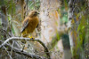 Calm Before the Storm<br /> <br /> (February 17, 2017) It's supposed to rain cats and dogs today, but all I saw was this Red Shouldered Hawk getting some hunting done before the storm.