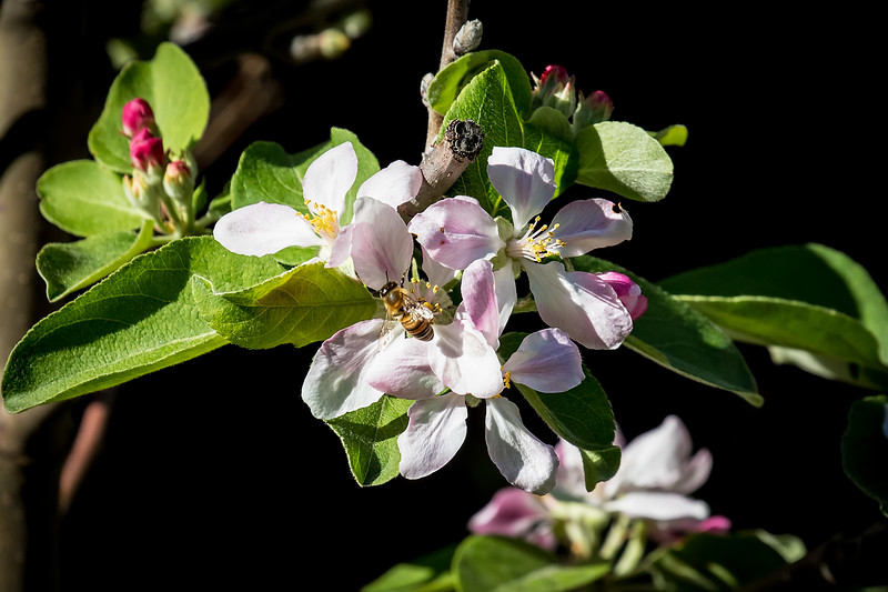 February showers give way to March flowers<br /> <br /> (March 5, 2017) Well, we're a month ahead, but I hope that bee is making us some apples.