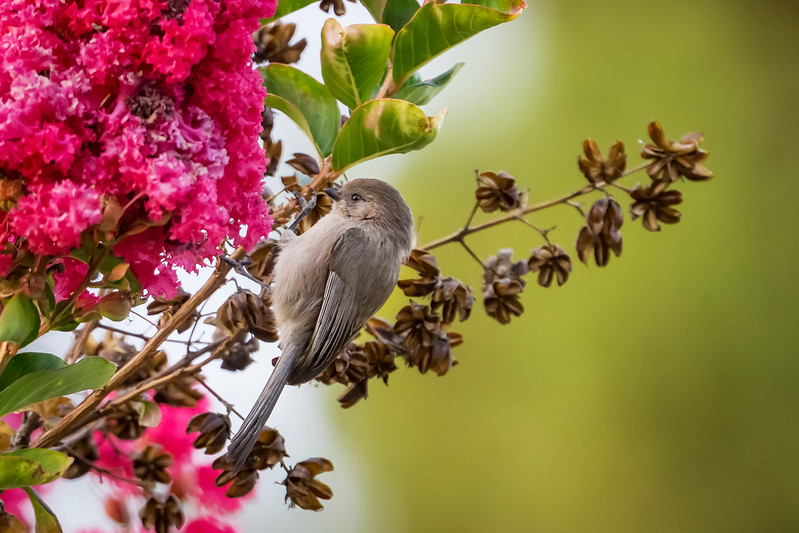 Bushtit<br /> <br /> (December 18, 2017) Don't blink or you'll miss these guys!