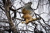 Branch Hopping<br /> <br /> (February 18, 2017) Same hawk, different day. Today the hawk was looking for nesting material.