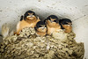 Stuffed<br /> <br /> (June 14, 2017) The swallow babies at Flabob Airport are almost ready to fledge. If not, they might just pop out of the nest.