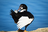 Tux Dux<br /> <br /> (December 29, 2017) There's a new duck at Fairmount Park and he's rocking his formal wear.