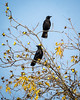 A Petite Murder<br /> <br /> (December 19, 2017) I'm not sure what only two crows would be called: half a murder? A Disturbance of the Peace? These two were raising a bit of havoc in the local pecan trees.