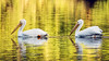 Snowbirds<br /> <br /> (November 11, 2017) The pelicans are back at Fairmount Park. They must have flown in yesterday. Some stay for the winter and some move on.