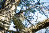 Tree Potato<br /> <br /> (February 23, 2017) What I saw this morning: a red tail hawk checking us out.
