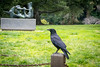Outdoor art<br /> <br /> (February 1, 2017) This crow was not about to be upstaged by some sculpture at UC Berkeley. Or maybe it was a portent of the riots to come later that day.