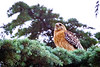 Town Crier<br /> <br /> (June 9, 2018) This Red Shouldered Hawk had a lot to say this morning.