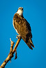 Who goes there?<br /> <br /> (December 15, 2018) Osprey at Rancho Jurupa Park.