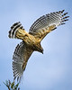 A quarter-second before<br /> <br /> (June 16, 2018) Before the hawk outpaced me, I did get one shot.