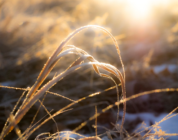 There's just something about the graceful curves of sleeping prairie grasses..... 12/03/18