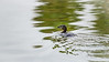 A Day for the Birds<br /> <br /> (March 2, 2018) It was a rainy day today, ideal for waterfowl like this Pied-billed Grebe, but not so much for water-phobic dogs like Graceys.
