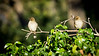 Out on a limb<br /> <br /> (February 1, 2018) These young sparrows were having a good time just being goofy.