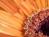 Gerbera daisy front side