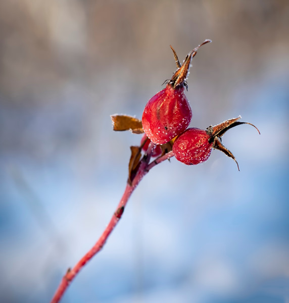Usually our Prairie is covered with rose hips to nourish the deer, rabbits and foxes over the winter, but this year I had trouble finding even one.   Our summer was so hot & dry that the Prairie struggled to survive.... I do so hope that next summer is not the same... 12/11/18