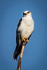 White-tailed Kite<br /> <br /> (December 2, 2018) I'm not sure who was watching whom today at the San Jacinto Wildlife Area.