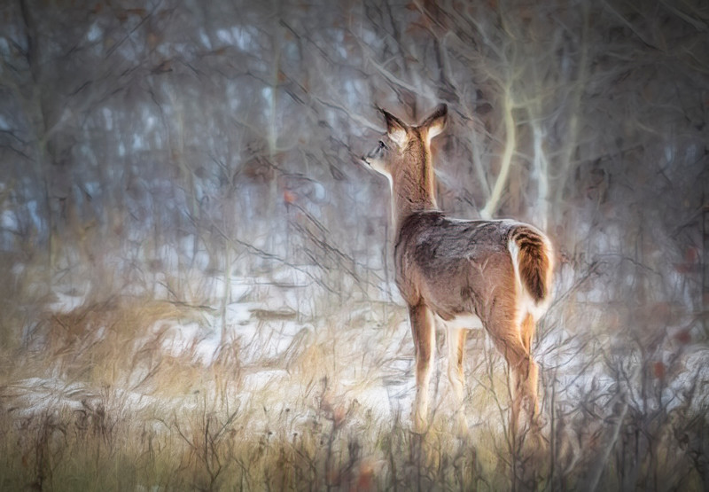 Lone deer, with it's winter coat thickening up