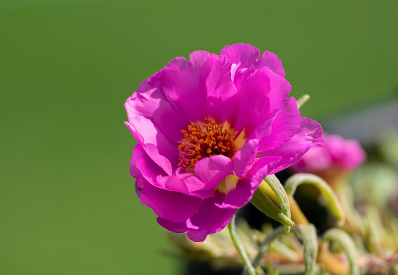 Pink Portulaca
