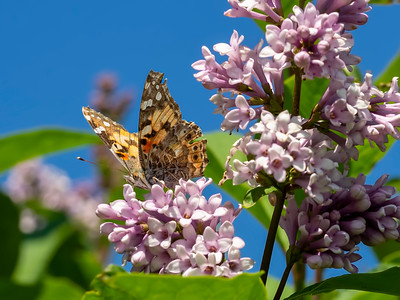 Butterflies love lilacs