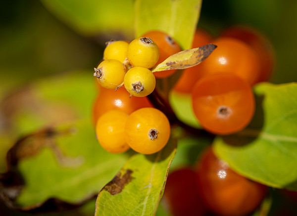 Berries ....