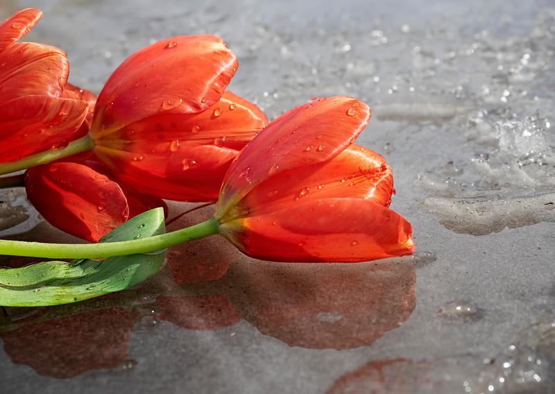 Castaway tulips