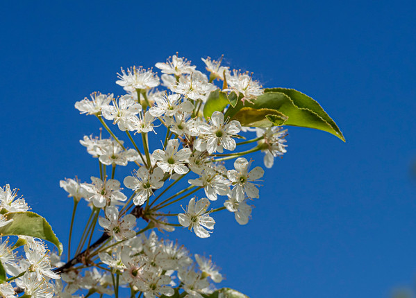 Another wild plum blossom shot - I liked the white against the blue ...  Thanks for your help with ID yesterday - :-) 06/18/19