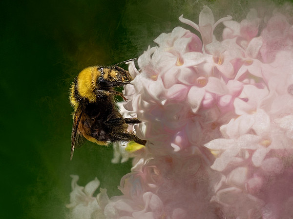 The lilacs & a bee