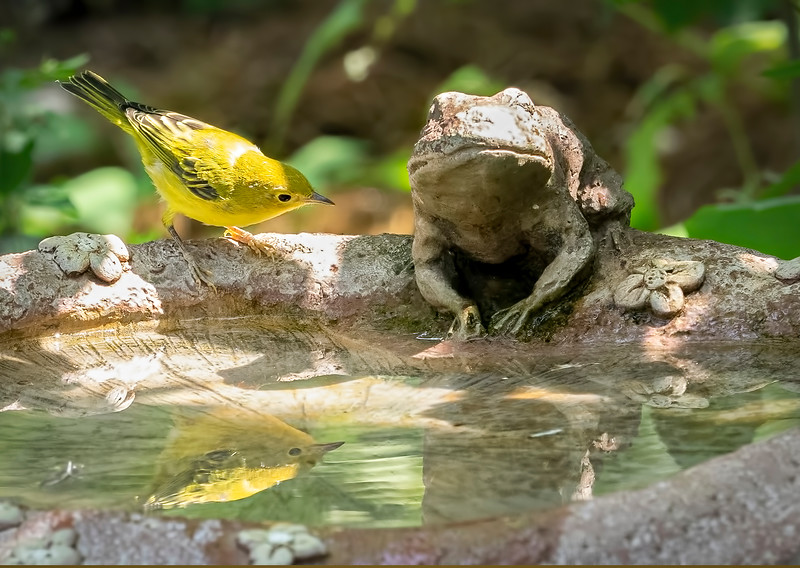 The Yellow Warbler and the Frog