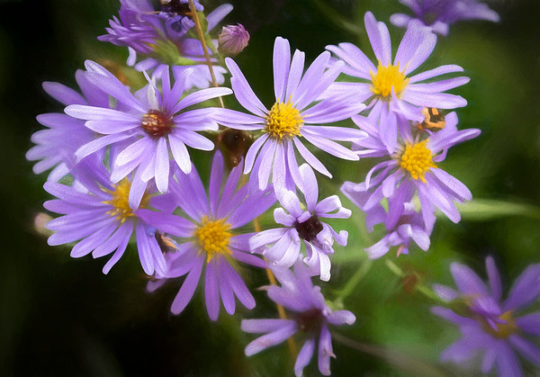 Another Aster, found by the roadside