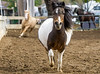 Wild and Wooly<br /> <br /> (December 21, 2019) The ponies had their turn to get some kinks out in the big arena.
