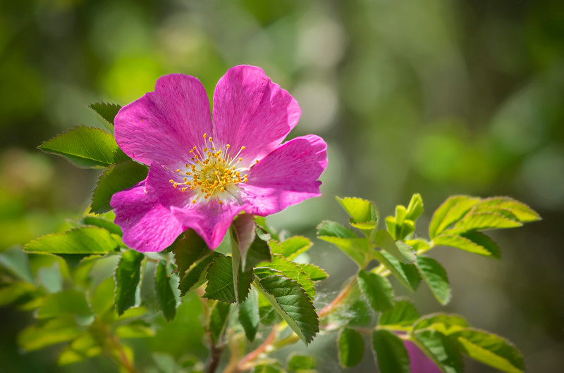 The wild roses are in bloom… 06/23/19