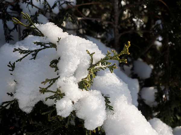Snow on the cedars