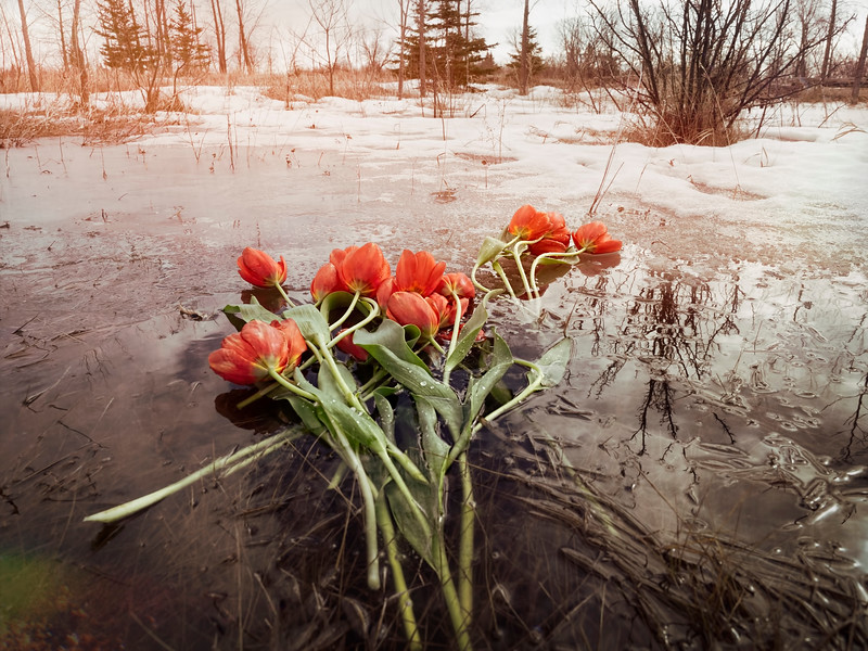 Tulips on Ice
