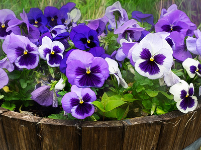 There's something about pansies