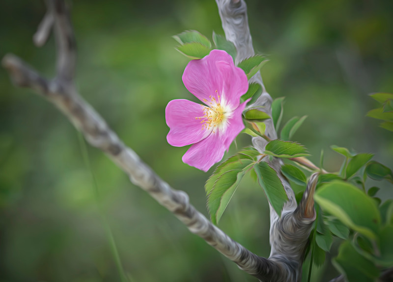 The Low Prairie Rose (Rosa arkansana)
