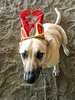 Good Girl<br /> <br /> (December 16, 2020) Poor Winnie had to look festive for festivities at the barn last weekend. That lasted about 60 seconds . . . or less.