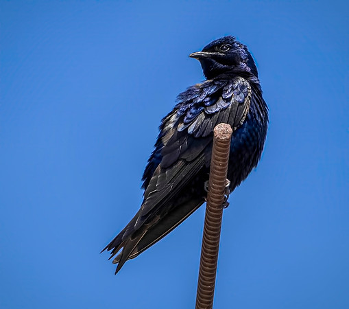 Purple Martin on the lookout