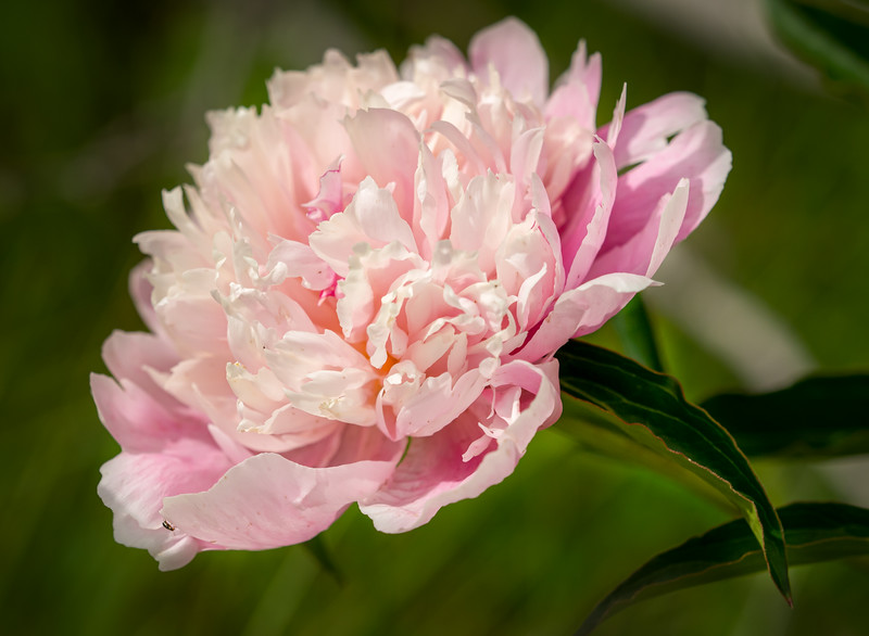 a lone peony (by Janet)