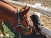 """No Fair<br /> <br /> (December 20, 2020) Charlie did not approve of Punkin' sneaking some of his grass. Punkin's response was the equivalent of, """"Bite me,"""" which I then had to prevent Charlie from doing. It won't happen again, because this arena fence came down today. [iPhone 6s photo]"""