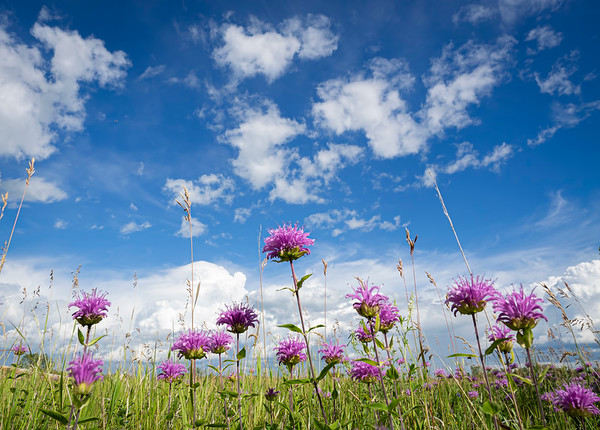 Bergamots in bloom (by Janet)