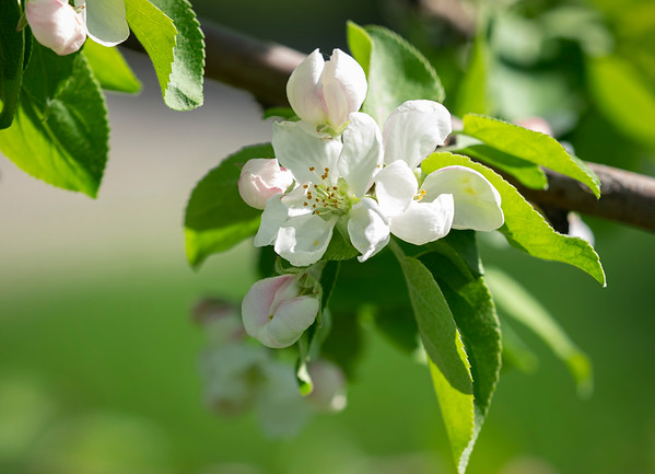 It's apple blossom time by Janet