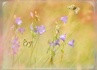 Harebells & butterflies (by Janet)