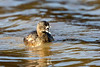 Back off!<br /> <br /> (March 25, 2020) This Pie-Billed Grebe is taking the six foot distance recommendation seriously.