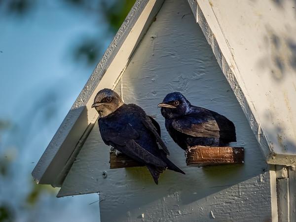 Meet the new tenants - Mr. & Mrs. Purple Martin