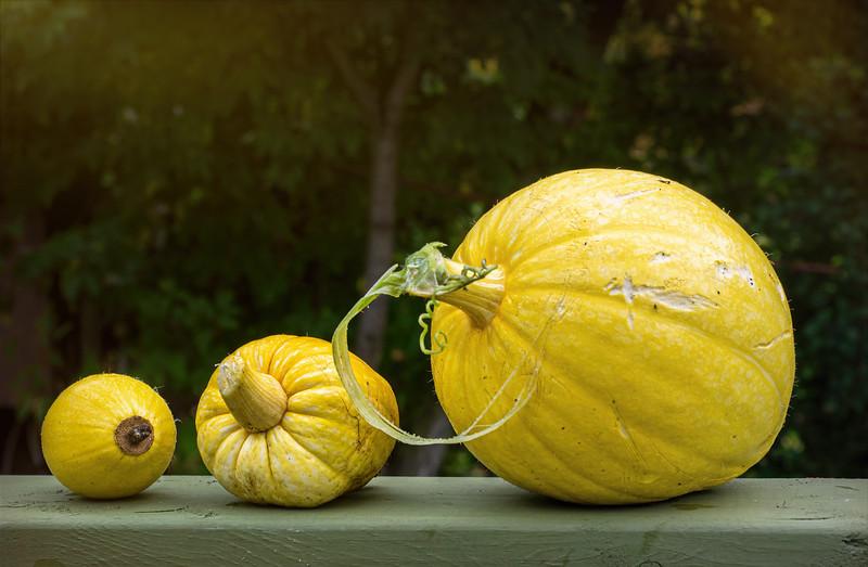 Our pumpkin crop
