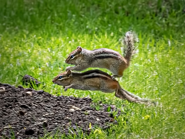 Leap the frog or leap the chipmunk!