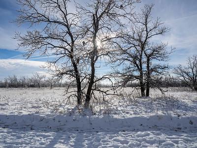 The oak trees (by Janet)