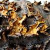 4/17   Dried Lichens