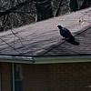 4/19   Vulture on House Across Street
